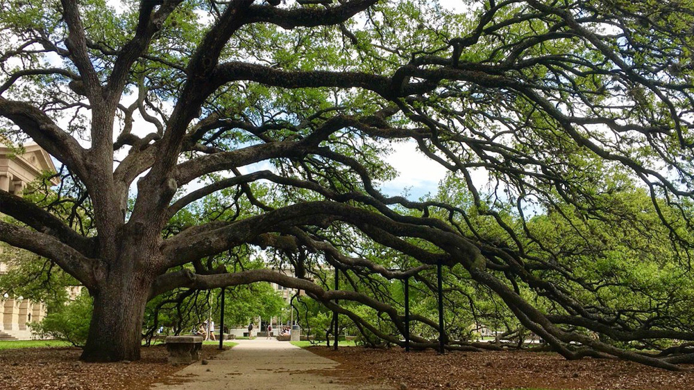 Century tree, a live oak that's more than 100 years old.